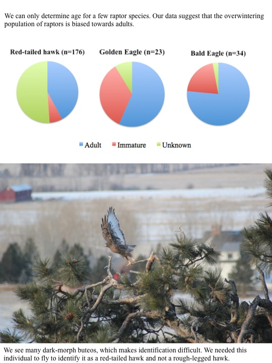 We can only determine age for a few raptor species. Our data suggest that the overwintering population of raptors is biased towards adults.