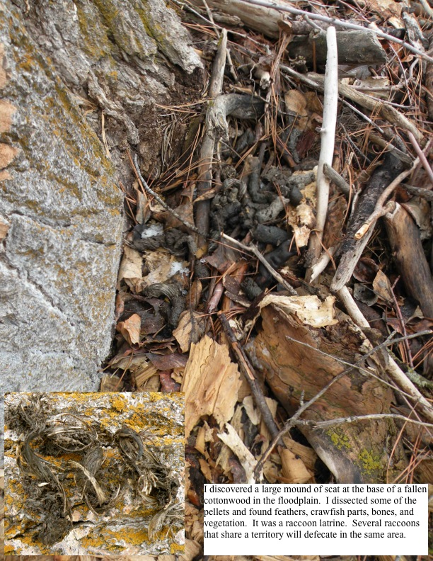 I discovered a large mound of scat at the base of a fallen cottonwood in the floodplain.