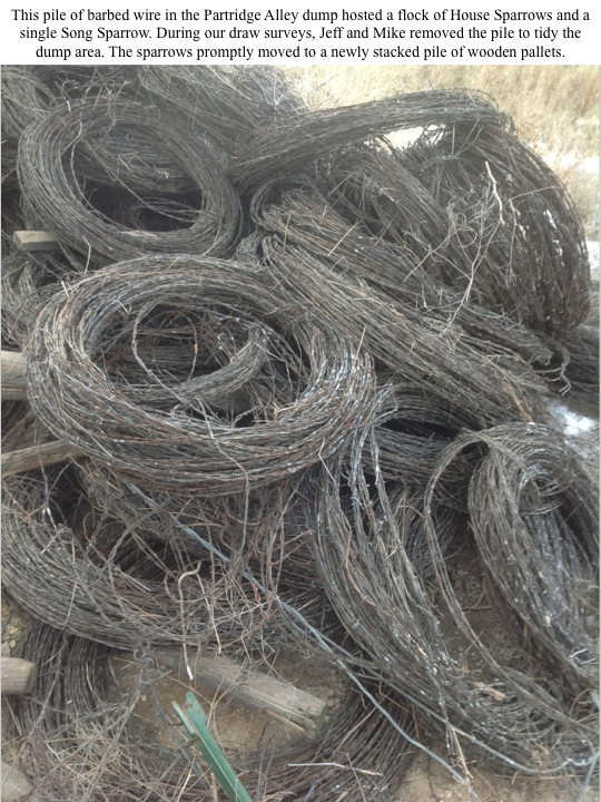 This pile of barbed wire in the Partridge Alley dump hosted a flock of House Sparrows and a single Song Sparrow. During our draw surveys, Jeff and Mike removed the pile to tidy the dump area. The sparrows promptly moved to a newly stacked pile of wooden pallets.
