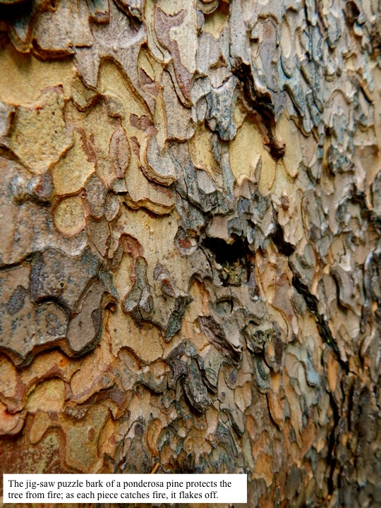 The jig-saw puzzle bark of a ponderosa pine protects the tree from fire; as each piece catches fire, it flakes off.