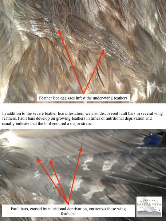In addition to the severe feather lice infestation, we also discovered fault bars in several wing feathers. Fault bars develop on growing feathers in times of nutritional deprivation and usually indicate that the bird endured a major stress.