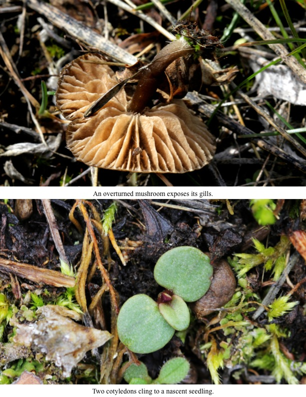 An overturned mushroom exposes its gills.