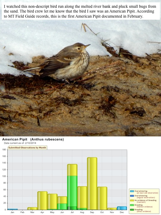 I watched this non-descript bird run along the melted river bank and pluck small bugs from the sand. The bird crew let me know that the bird I saw was an American Pipit. According to MT Field Guide records, this is the first American Pipit documented in February.
