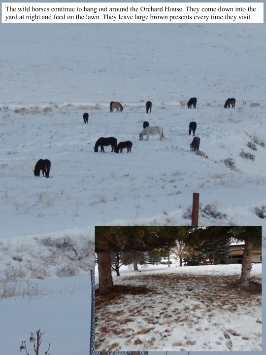 February. The wild horses continue to hang out around the Orchard House. They come down into the yard at night and feed on the lawn. They leave large brown presents every time they visit.