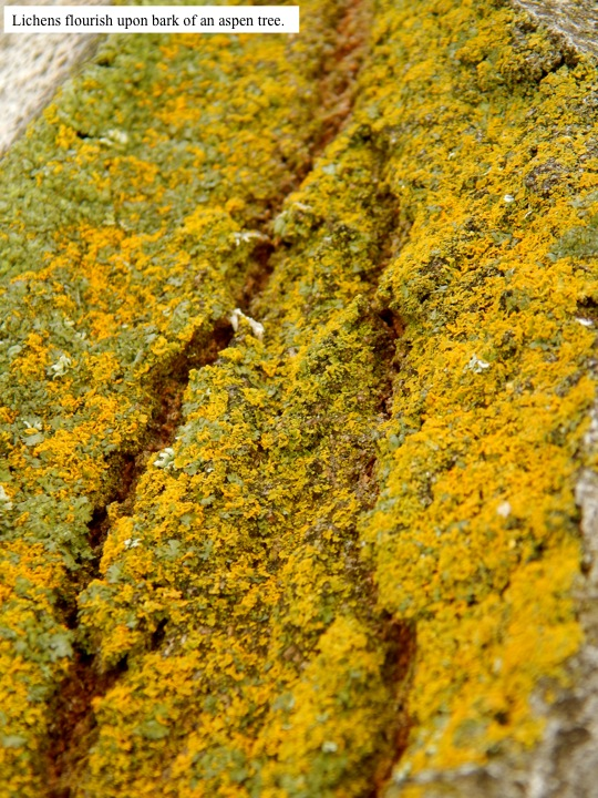 Lichens flourish upon bark of an aspen tree.