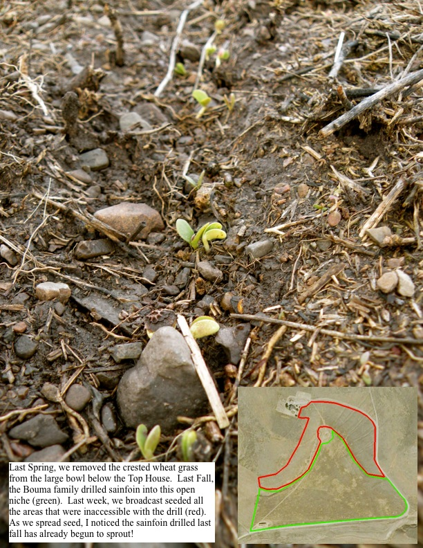 Last Fall, the Bouma family drilled sainfoin into this open niche (green). Last week, we broadcast seeded all the areas that were inaccessible with the drill (red). As we spread seed, I noticed the sainfoin drilled last fall has already begun to sprout!