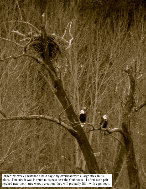 Earlier this week I watched a bald eagle fly overhead with a large stick in its talons. I'm sure it was in route to its nest near the Clubhouse. I often see a pair perched near their large woody creation; they will probably fill it with eggs soon.