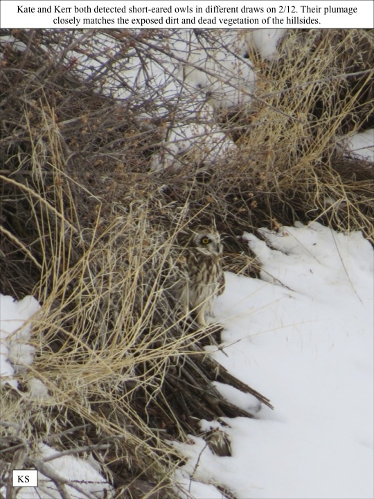 state. Kate and Kerr both detected short-eared owls in different draws on 2/12. Their plumage closely matches the exposed dirt and dead vegetation of the hillsides.