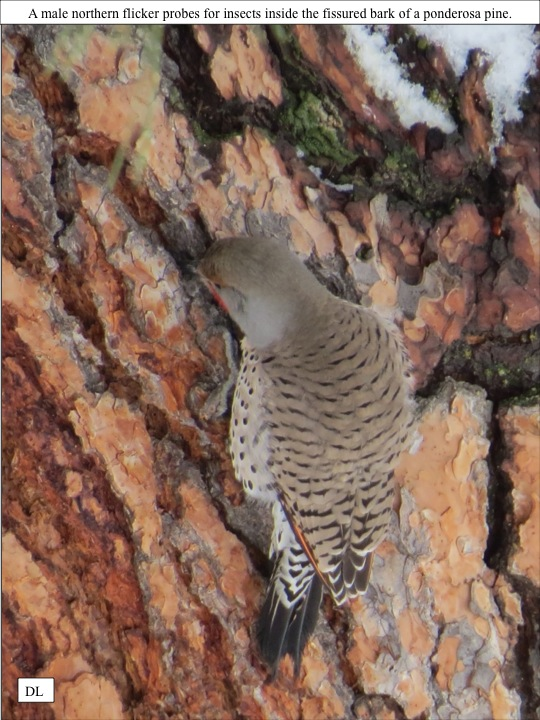 KS A male northern flicker probes for insects inside the fissured bark of a ponderosa pine.