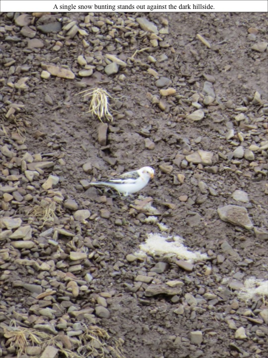 A single snow bunting stands out against the dark hillside.