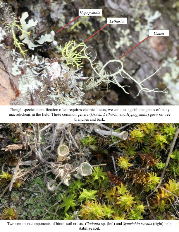 Though species identification often requires chemical tests, we can distinguish the genus of many macrolichens in the field. These common genera (Usnea, Letharia, and Hypogymnia) grow on tree branches and bark.