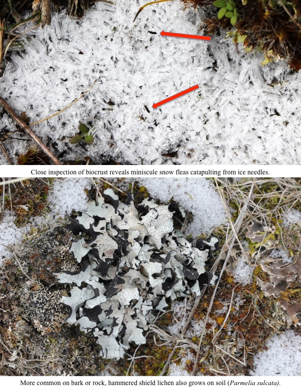 Close inspection of biocrust reveals miniscule snow fleas catapulting from ice needles.