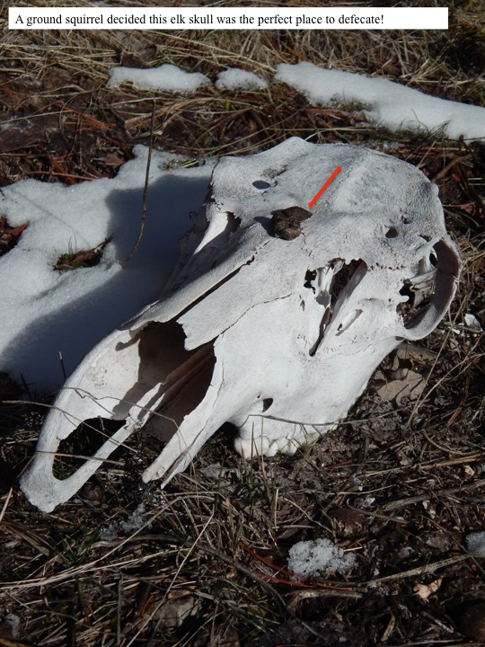 A ground squirrel decided this elk skull was the perfect place to defecate!