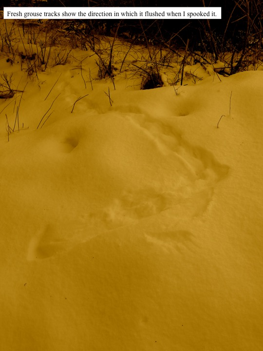 Fresh grouse tracks show the direction in which it flushed when I spooked it.