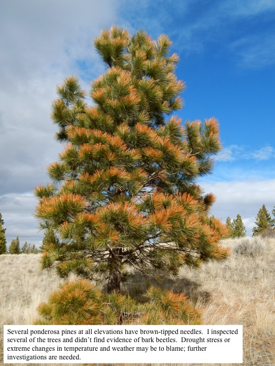 Several ponderosa pines at all elevations have brown-tipped needles. I inspected several of the trees and didn't find evidence of bark beetles. Drought stress or extreme changes in temperature and weather may be to blame; further investigations are needed.