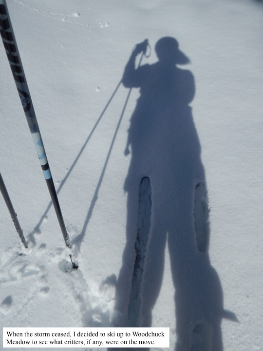 When the storm ceased, I decided to ski up to Woodchuck Meadow to see what critters, if any, were on the move.