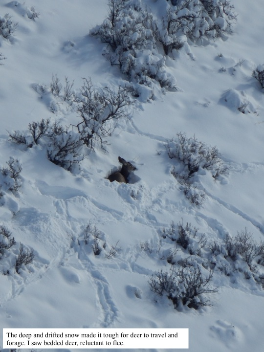 The deep and drifted snow made it tough for deer to travel and forage. I saw bedded deer, reluctant to flee.