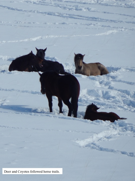 This horse herd was also reluctant to move. Trails that the horses did make were followed by deer and coyotes.