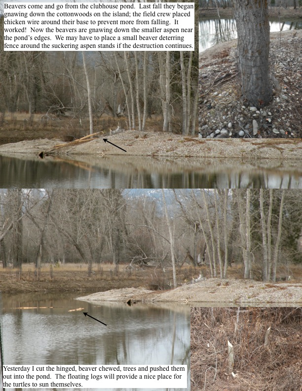 Beavers come and go from the clubhouse pond. Last fall they began gnawing down the cottonwoods on the island; the field crew placed chicken wire around their base to prevent more from falling.