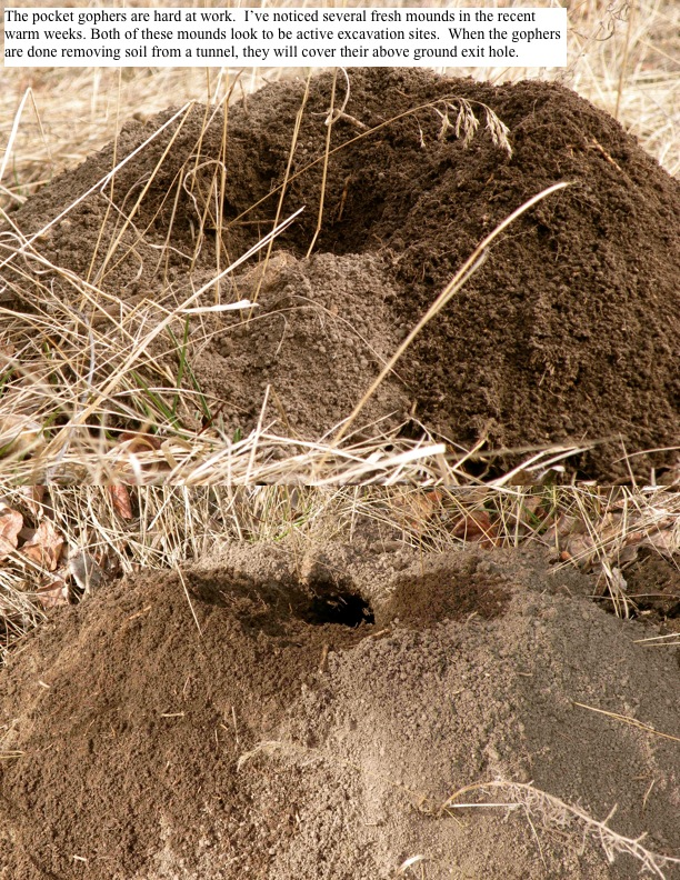 The pocket gophers are hard at work. I've noticed several fresh mounds in the recent warm weeks.