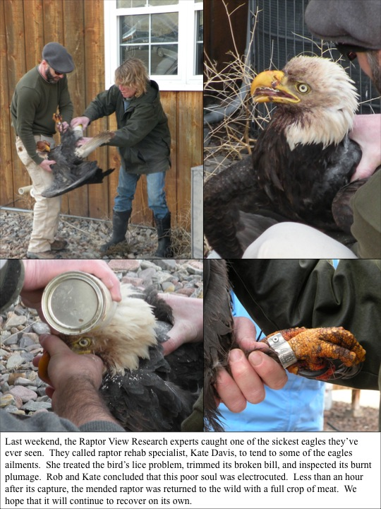 injured bald eagle