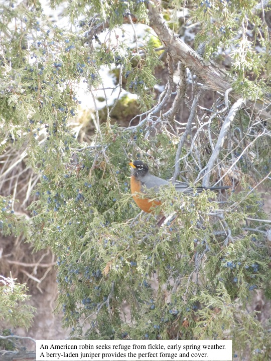 An American robin seeks refuge from fickle, early spring weather. A berry-laden juniper provides the perfect forage and cover.