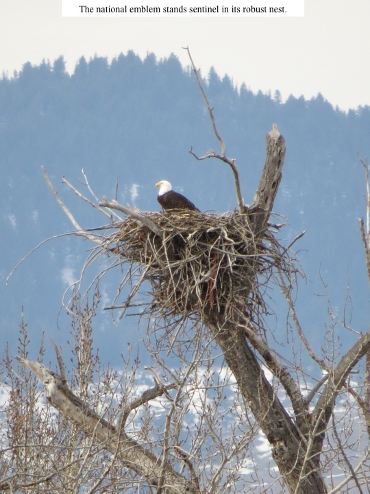The national emblem stands sentinel in its robust nest.