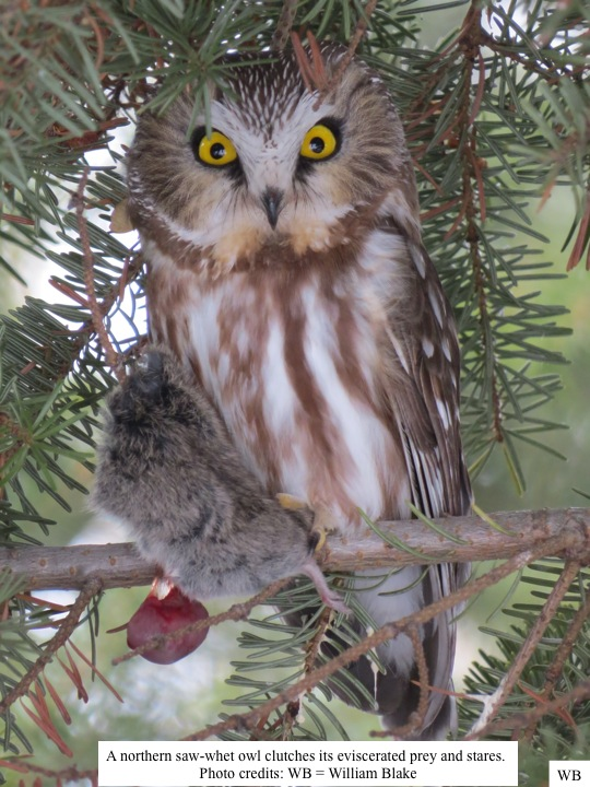 A northern saw-whet owl clutches its eviscerated prey and stares.