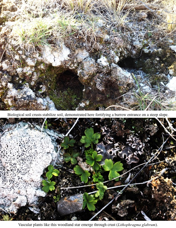 Biological soil crusts stabilize soil, demonstrated here fortifying a burrow entrance on a steep slope. Vascular plants like this woodland star emerge through crust (Lithophragma glabrum).