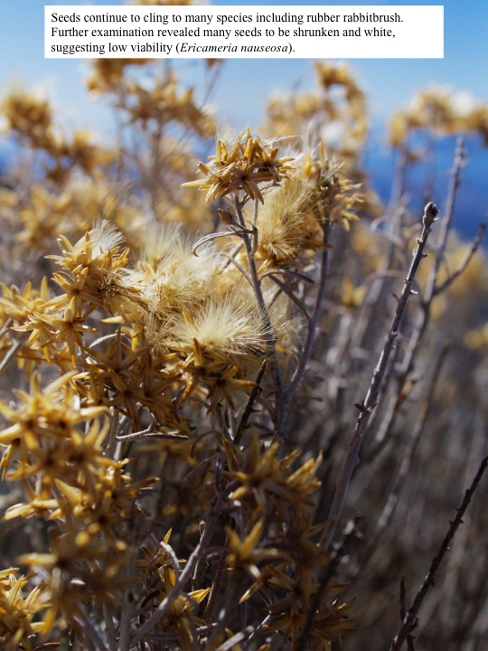 Seeds continue to cling to many species including rubber rabbitbrush. Further examination revealed many seeds to be shrunken and white, suggesting low viability (Ericameria nauseosa).