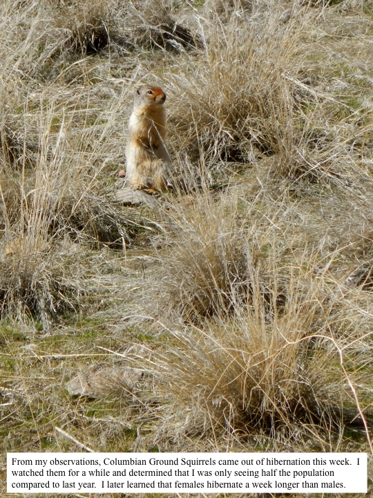 From my observations, Columbian Ground Squirrels came out of hibernation this week. I watched them for a while and determined that I was only seeing half the population compared to last year. I later learned that females hibernate a week longer than males.