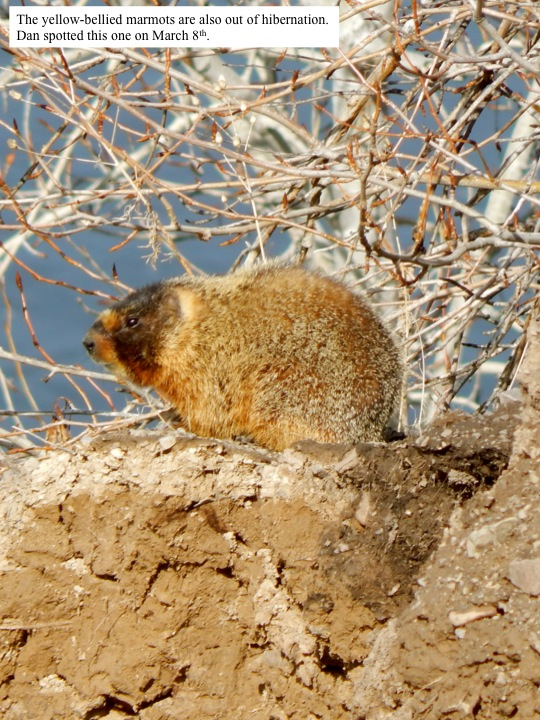 The yellow-bellied marmots are also out of hibernation. Dan spotted this one on March 8th.