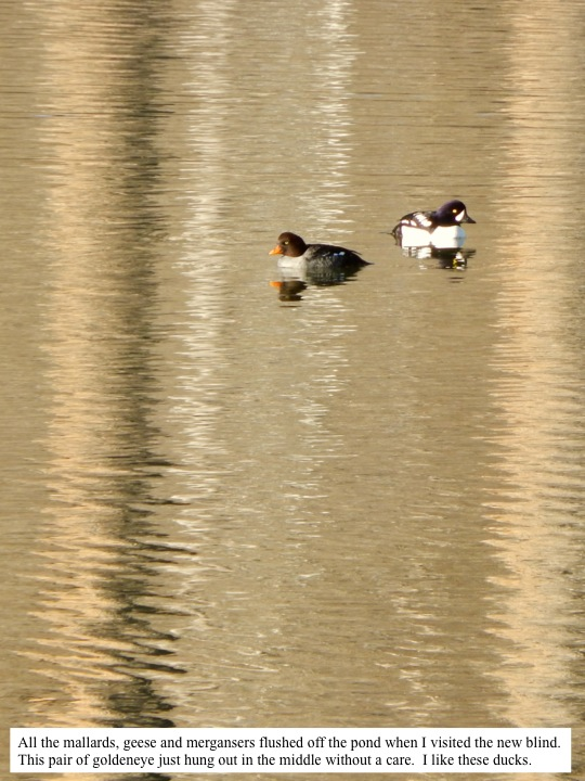 All the mallards, geese and mergansers flushed off the pond when I visited the new blind. This pair of goldeneye just hung out in the middle without a care. I like these ducks.