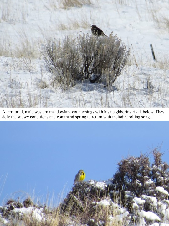 A territorial, male western meadowlark countersings with his neighboring rival, below. They defy the snowy conditions and command spring to return with melodic, rolling song.