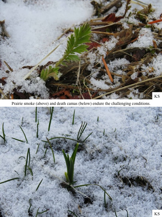 Prairie smoke (above) and death camas (below) endure the challenging conditions.