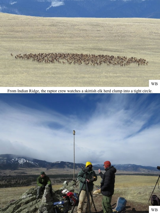 From Indian Ridge, the raptor crew watches a skittish elk herd clump into a tight circle.