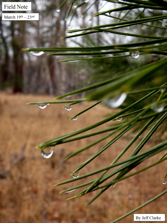 water droplets on pine needles.