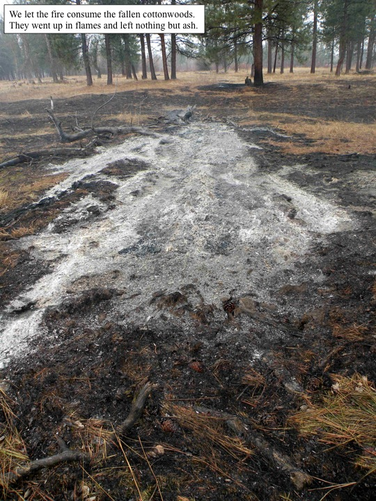 the cottonwoods burn to ashes