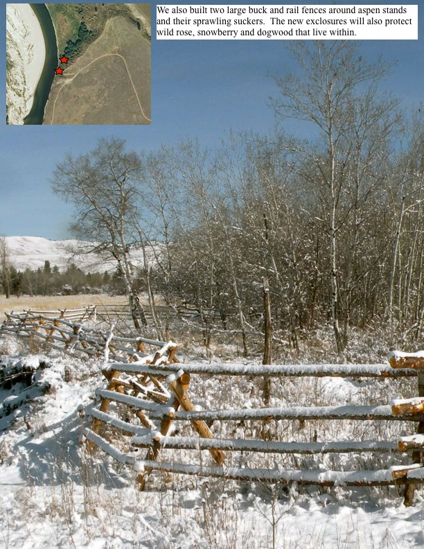 We also built two large buck and rail fences around aspen stands and their sprawling suckers. The new exclosures will also protect wild rose, snowberry and dogwood that live within.