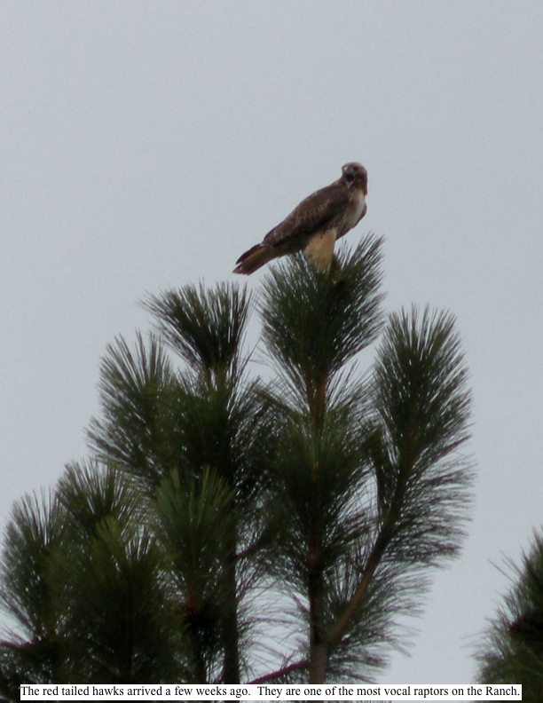 The red tailed hawks arrived a few weeks ago. They are one of the most vocal raptors on the Ranch.