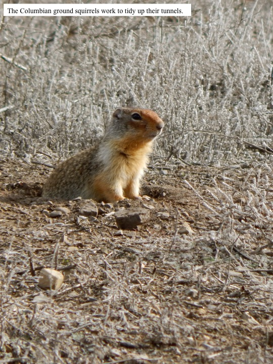 The Columbian ground squirrels work to tidy up their tunnels.