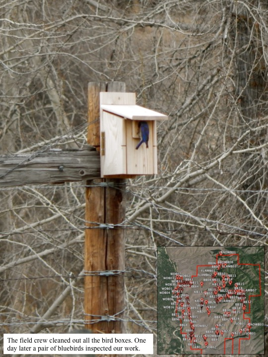 The field crew cleaned out all the bird boxes. One day later a pair of bluebirds inspected our work.