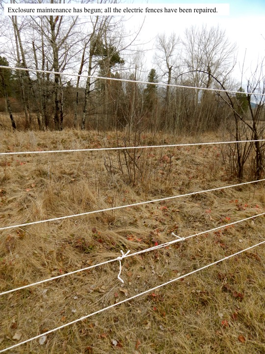 Exclosure maintenance has begun; all the electric fences have been repaired.