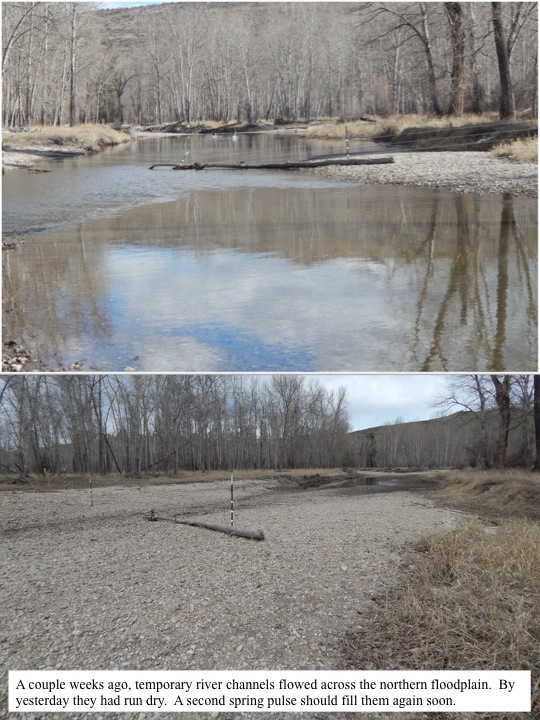 A couple weeks ago, temporary river channels flowed across the northern floodplain. By yesterday they had run dry. A second spring pulse should fill them again soon.