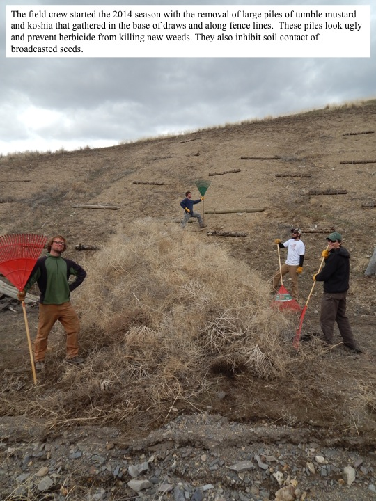 The field crew started the 2014 season with the removal of large piles of tumble mustard and koshia that gathered in the base of draws and along fence lines. These piles look ugly and prevent herbicide from killing new weeds. They also inhibit soil contact of broadcasted seeds.