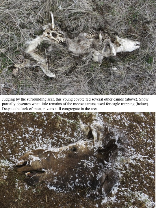 Judging by the surrounding scat, this young coyote fed several other canids (above). Snow partially obscures what little remains of the moose carcass used for eagle trapping (below). Despite the lack of meat, ravens still congregate in the area.