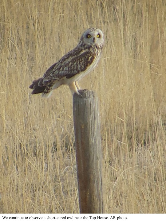 We continue to observe a short-eared owl near the Top House. AR photo.