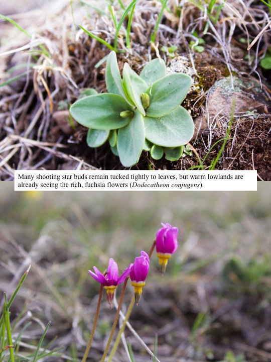 Many shooting star buds remain tucked tightly to leaves, but warm lowlands are already seeing the rich, fuchsia flowers (Dodecatheon conjugens).