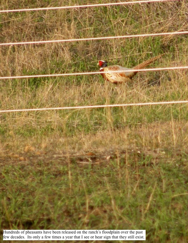 Hundreds of pheasants have been released on the ranch's floodplain over the past few decades. Its only a few times a year that I see or hear sign that they still exist.