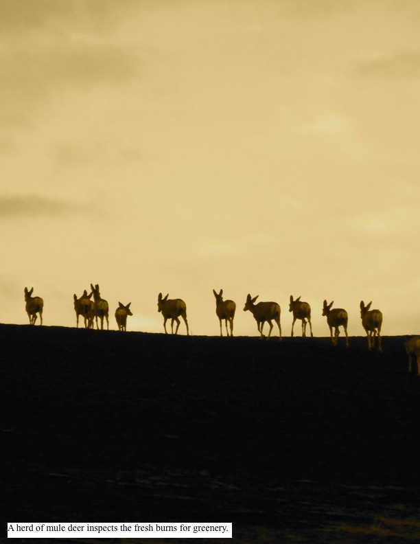 A herd of mule deer inspects the fresh burns for greenery.